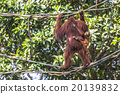Orangutan in the jungle of Borneo Indonesia. 20139832