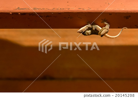 Two Geckos mating on the roof, with copy space 20145208