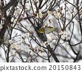 Plum flowers and mezzo 20150843