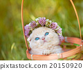 Little kitten crowned with a chaplet of clover  20150920