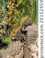 Chinese Dwarf Otter 20152459