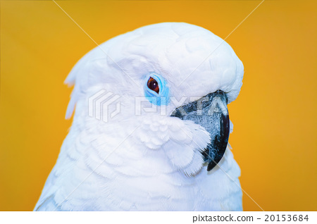 The Cockatoo Parrot 20153684