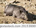 Sleeping Wild Boar 20153690