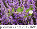 Convolvulus Arvensis (Field Bindweed) 20153695