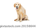 金色 狗狗 狗 20156644