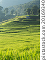 paddy rice fields of agriculture plantation 20169340