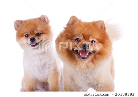 Pomeranian Dog Brown Short Hair Stock Photo 20169392 Pixta