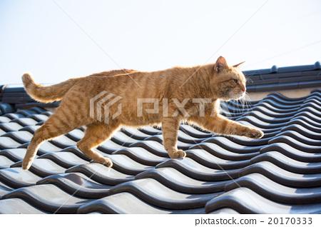 走在屋顶的猫 20170333