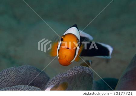 Touaka Anemonefish 20177721