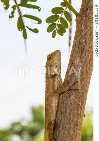 Chameleon on the tree 20183134