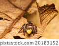 Jumping spider on green leaf 20183152