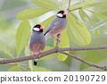 Java sparrow Java finch Female Birds of Thailand 20190729