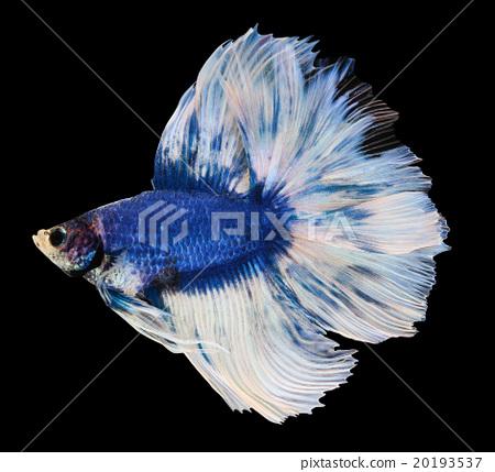 Betta fish siamese fighting fish betta splendens stock for Betta fish behavior
