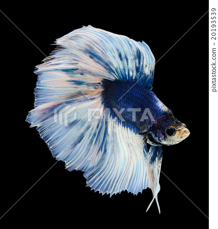 Betta fish siamese fighting fish betta splendens stock for Betta fish personality