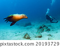 Puppy sea lion underwater looking at you 20193729