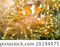 Clown fish Nemo at anemone reef tree 20194075