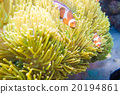 Nemo fish with host anemone 20194861
