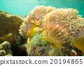 Anemone and anemone fish 20194865