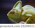 Eboshi Chameleon Chameleon Chamaeleo calyptratus 20200031