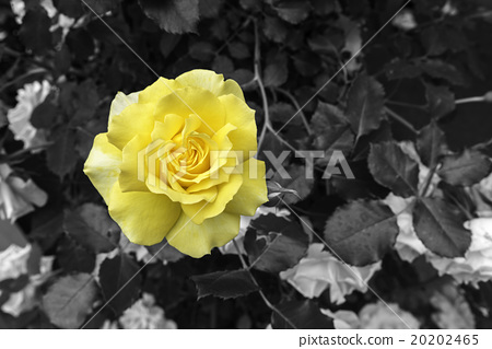 yellow rose flower over black and white background stock