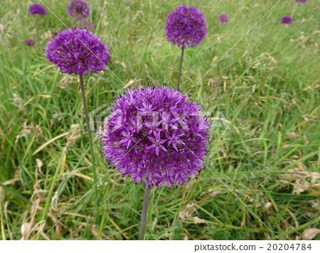 Kensington Palace Flower 20204784