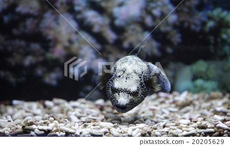 Puffer fish 20205629