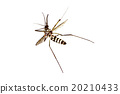 dead mosquito on white background 20210433