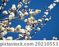 Plum flowers and mezzo 20210553