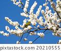 Plum flowers and mezzo 20210555