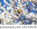 Plum flowers and mezzo 20210556
