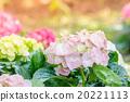 Hydrangea flower (Hydrangea macrophylla) 20221113