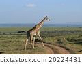 熱帶大草原 長頸鹿 肯尼亞 20224481