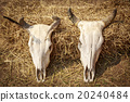Still Life Skull of Cow 20240484