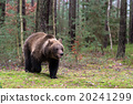 bear, brown, forest 20241299