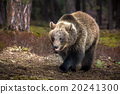 animal, bear, brown 20241300