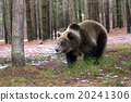 bear, brown, forest 20241306