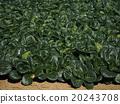 日本芥末菠菜 20243708