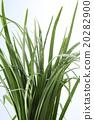 garli chives 20282900