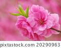 桃子 開花的 桃 20290963