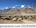Herd of sheep against the background of mountain 20293690