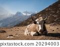 Yak in Annapurna region, Nepal 20294003