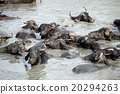 water buffalo in river 20294263