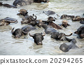 water buffalo in river. 20294265