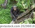 Smiling Monkey 20296618
