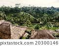 Rice terraces in Bali 20300146