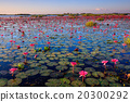 The sea of red lotus, Udon Thani, Thailand 20300292