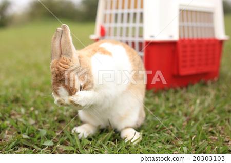 Rabbit washing face 20303103
