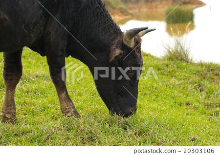 擎天岡的牛2 20303106