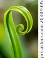 Bird's nest fern (Asplenium nidus) 20304095