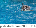 killer whale orca while swimming 20308116